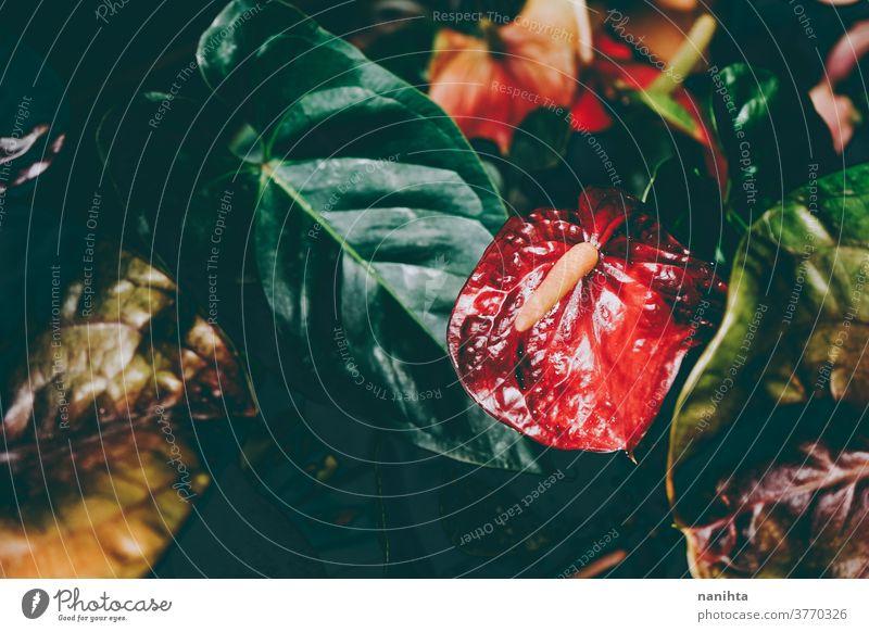 Wunderschöne Aufnahme von Anthuriumblüten anturio Flamingoblumen Pflanze organisch Textur Blume Blatt exotisch anders dunkel Schönheit Schönheit in der Natur