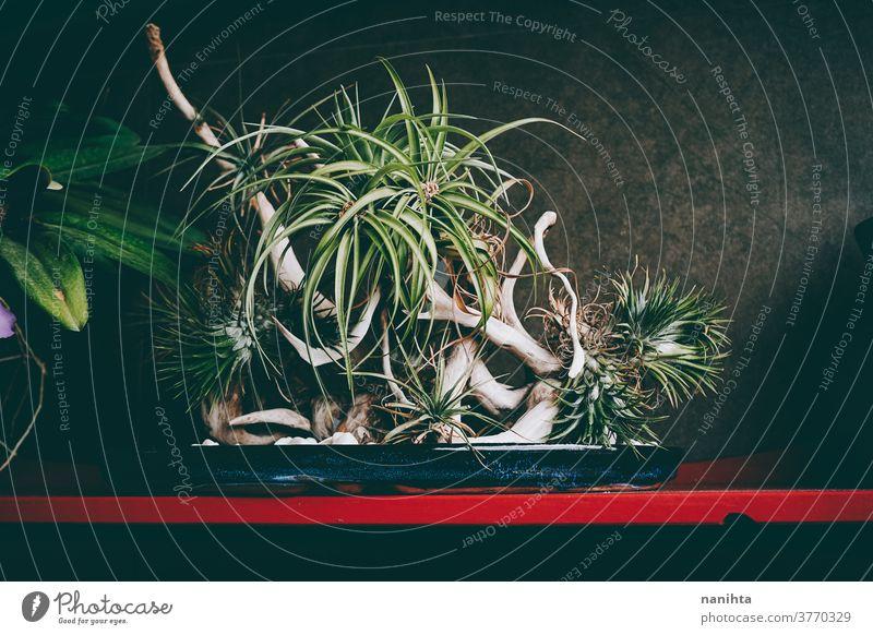 Dekoration mit Nelke der Luft tillandsia Bonsai Dekoration & Verzierung Holz Blätter Blatt Pflanze Botanik botanisch matt dunkel Natur natürlich Muster exotisch