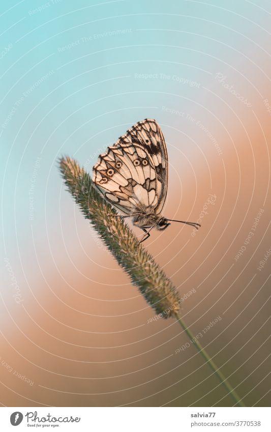 mach mal Pause! Schmetterling in Ruheposition Schachbrettfalter Insekt Lepidoptera Flügel Fühler Natur Tierporträt Makroaufnahme Gräserblüte sitzen ruhen