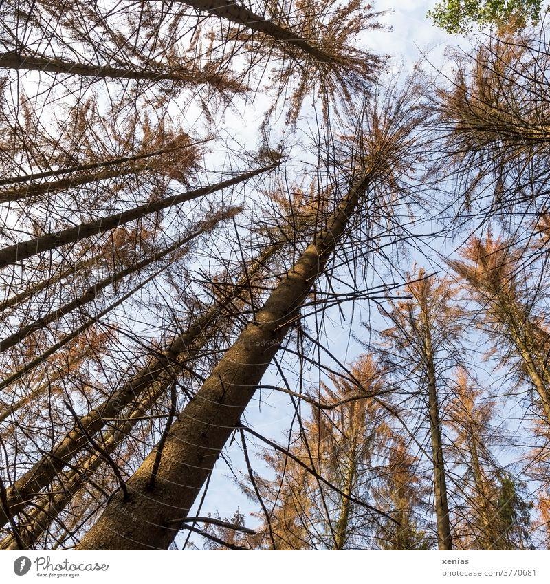 Waldsterben - Blick in den Himmel hinauf zu abgestorbenen Baumwipfeln eines Fichtenwäldchens Klimawandel Borkenkäfer Holz Totholz Forstwirtschaft Naturschutz