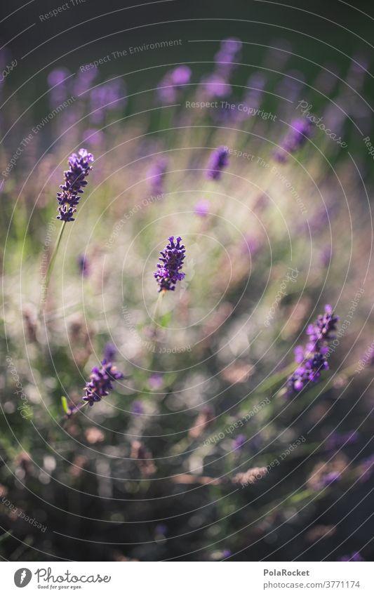 #A# Lavendel im Garten II Duft Detailaufnahme ästhetisch Totale Tag Farbfoto Kontrast Frankreich Provence Natur Schwache Tiefenschärfe Außenaufnahme violett