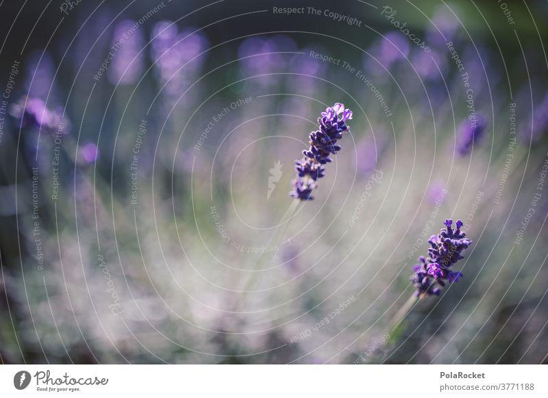 #A# Lavendel im Garten I Lavendelfeld Lavendelernte Lavendelblüte Lavendelduft Lavendelblüten Lavendelblume lavendelfelder lavendelöl Lavendelblau violett