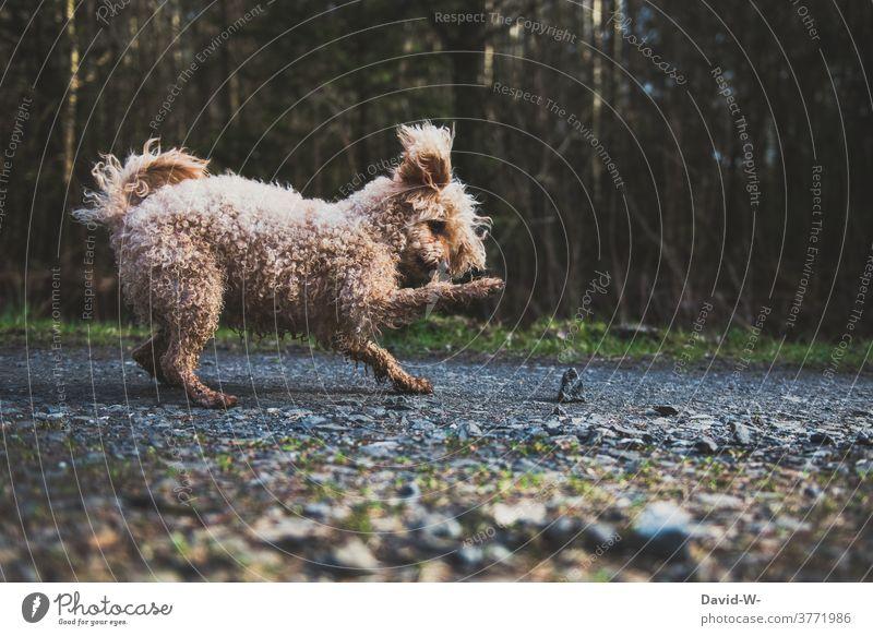 verspielter Hund fasziniert von einem Stein Haustier niedlich Spielzeug witzig Freude Spielen lustig Pudel