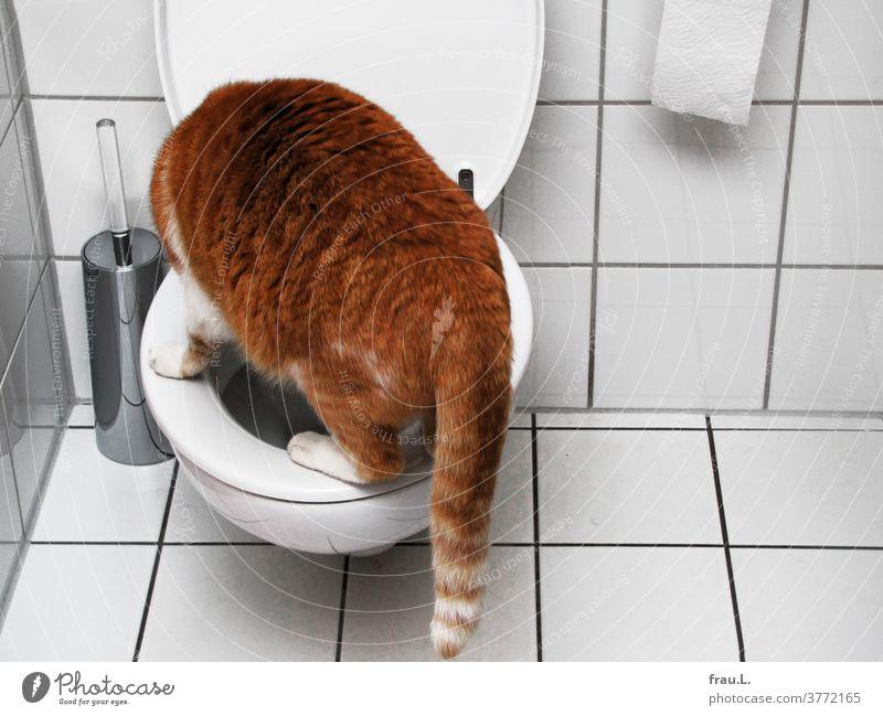 Irgendwie ist das so nicht ganz richtig, überlegte der rot getigerte Kater, nachdem er auf die Klobrille gesprungen war. Katze Bad Haustier Tier Hauskatze