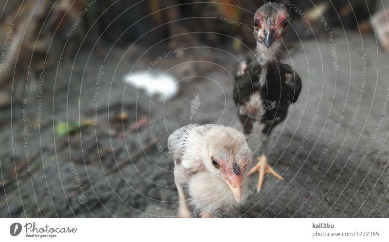 Arme junge Küken schauen traurig in einem schlechten Verkaufsstand auf einem Vogelmarkt trauriges Gesicht Schnabel traurige Stimmung Tierhaltung