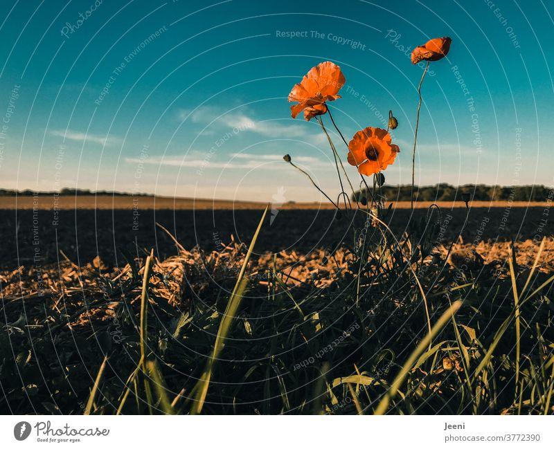 Rote Mohnblume am Feldrand Mohnblüte Mohnrot orange Himmel blau Wolke Wolken Wegesrand Natur Herbst Pflanze Blume Außenaufnahme menschenleer Wildpflanze wild