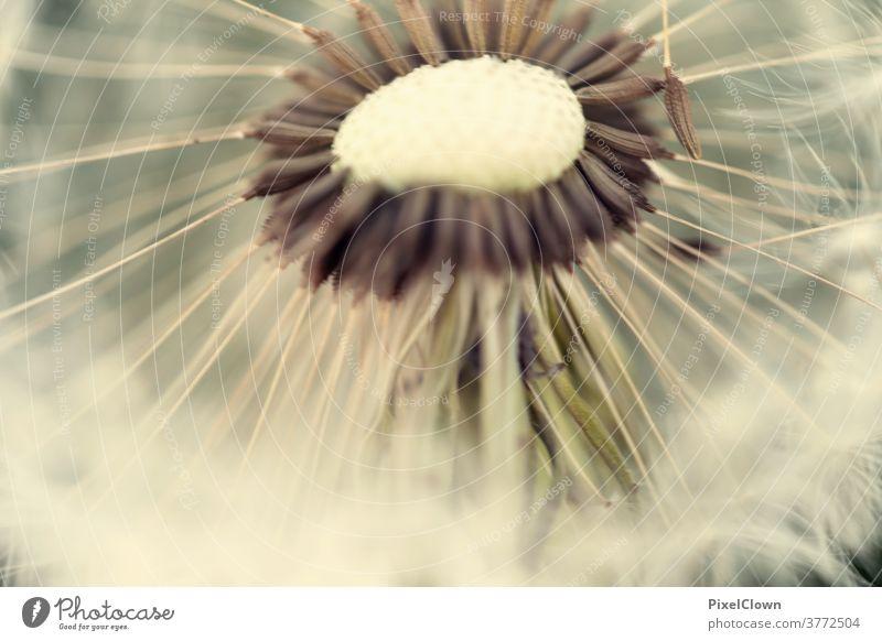 Pusteblume Löwenzahn Natur Pflanze Blume Nahaufnahme Samen Außenaufnahme Blüte Wiese Umwelt Makroaufnahme Frühling Wildpflanze Flora