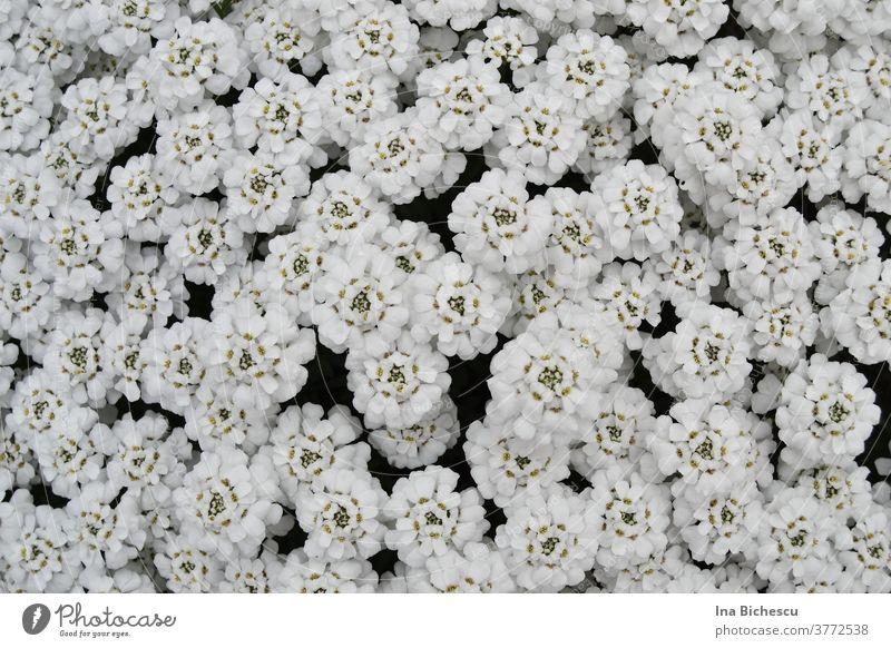 Unzählige weiße Blüten mit hell grünem Stößel bedecken fast vollständig die Fläche des Bildes. blumen btüten textur muster hintergrund dekoration