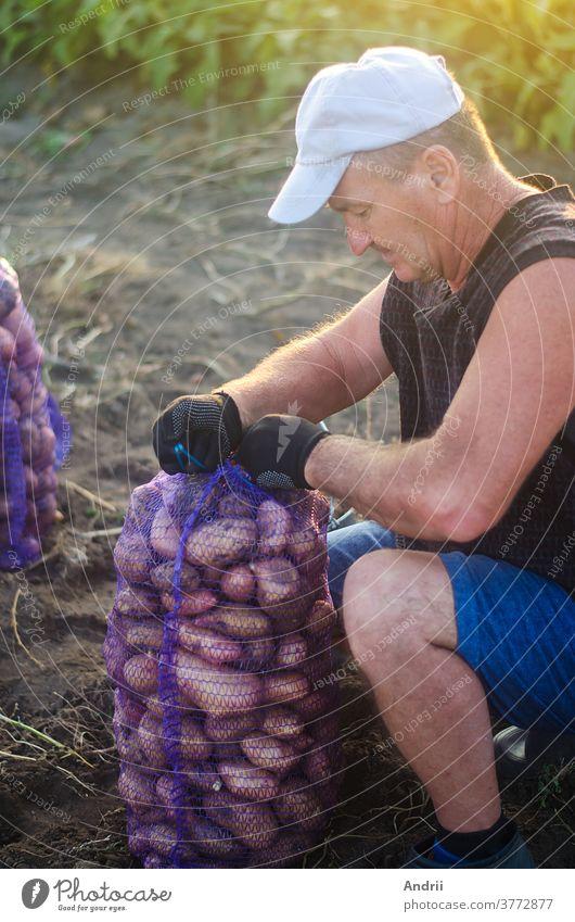 Der Bauer rollt den gefüllten Netzbeutel mit Kartoffeln auf. Ernte der Kartoffeln auf der landwirtschaftlichen Plantage. Vorbereiten der Lebensmittelvorräte. Landwirtschaft. Ackerland auf dem Land. Gemüse anbauen, sammeln, sortieren und verkaufen.