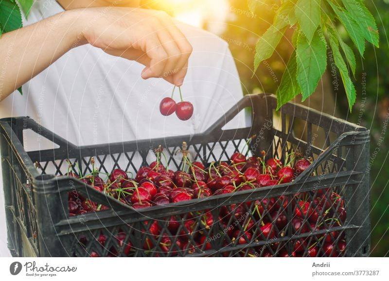 Ein Bauer hält eine Kiste mit frisch gepflückten roten Kirschen im Garten. Frische Bio-Früchte. Sommerernte. Selektiver Schwerpunkt. Ernte Landwirt