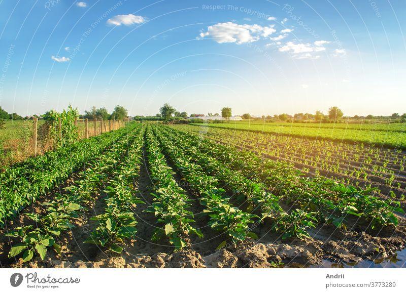 Auberginenplantagen wachsen an einem sonnigen Tag auf dem Feld. Bio-Gemüse. Landwirtschaftliche Nutzpflanzen. Landwirtschaftliche Nutzpflanzen. Agroindustrie und Agrobusiness. Europäische Landwirtschaft. Landwirtschaft. Aubergine. Selektiver Schwerpunkt