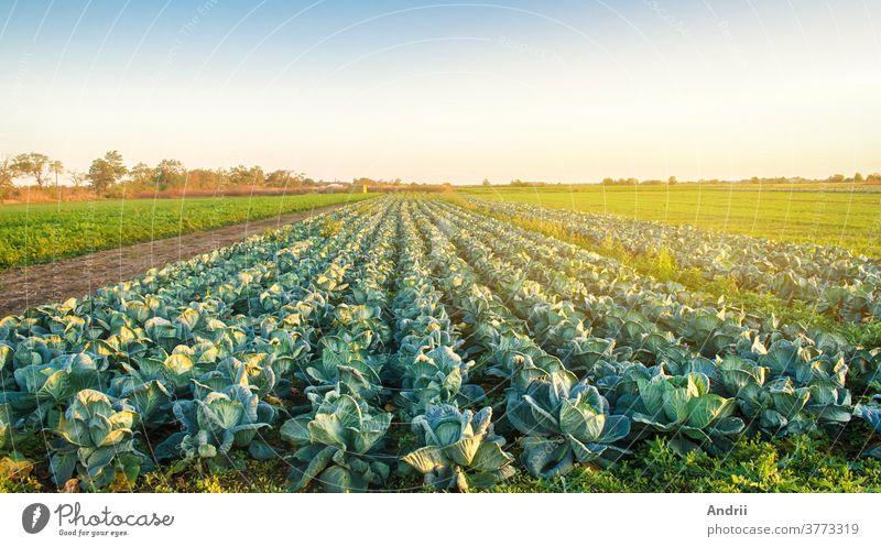 Kohlpflanzungen im Licht des Sonnenuntergangs. Anbau von Bio-Gemüse. Umweltfreundliche Produkte. Landwirtschaft und Ackerbau. Plantagenanbau. Selektiver Schwerpunkt