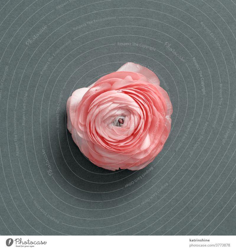 Rosa Blume auf grauem Hintergrund rosa Frühling Mutter romantisch Draufsicht Rosen Ranunculus Konzept kreativ Tag Dekor Dekoration & Verzierung Design geblümt