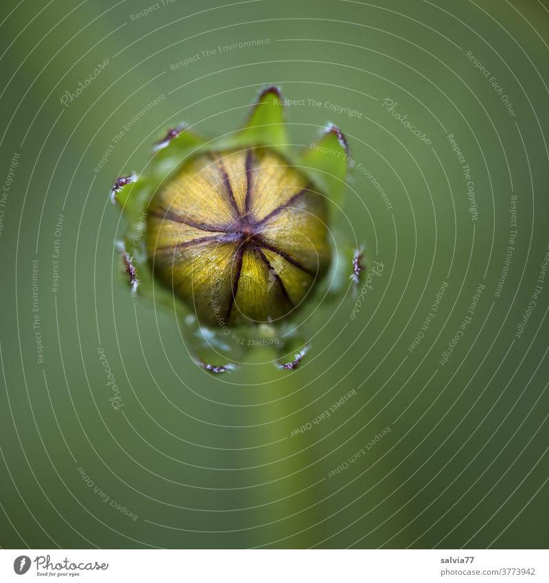 geschlossene Blütenknospe Mädchenauge Coreopsis Knospe Blütenknospen Pflanze Natur Garten Blume Detailaufnahme Makroaufnahme Schwache Tiefenschärfe