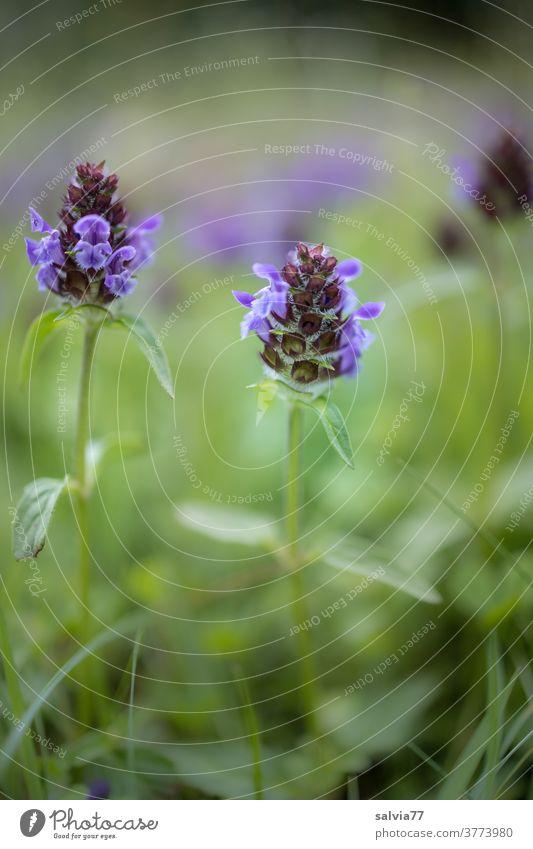 Blumenwiese aus der Froschperspektive Natur Wildblumen Wiese Kleine Braunelle Prunella vulgaris Gras Blüte Pflanze Blühend grün blau natürlich Sommer Frühling