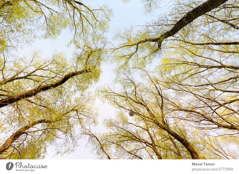 Wald und Himmel mit Sonne Rinde Niederlassungen hell Tag Laubwerk frisch grün Blätter Licht aufschauend Natur Nest im Freien Park Pflanze Pappeln Rochen