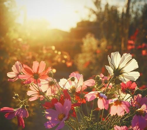 Verschwenderisch Cosmea Blumen Blüten blühend Sommer leuchtend leuchtende Farben Menschenleer Schwache Tiefenschärfe Blühend Außenaufnahme Nahaufnahme Natur