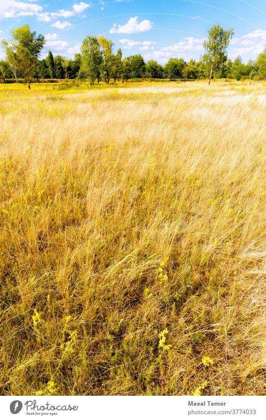 Verschiedene Kräuter auf der Wiese Galium Galium verum Kiew Ukraine Labkraut Botanik hell Nahaufnahme Wolken wolkig Feld Flora Blumen Wald Gramineae Gras Kraut