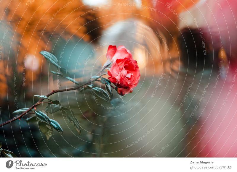 Kreative und launische Rosenblüte im Spätherbst fallen Roséwein Stimmung launische Blume Herbstblumen Herbststimmung Herbstfarben traurig traurige Rose Garten