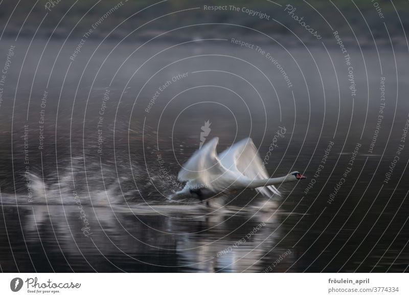 Schwanensprint Tier Natur Außenaufnahme Farbfoto Menschenleer Wildtier Umwelt Wasser Vogel See weiß Teich Feder Tierporträt Kraft fliegen elegant Eleganz Fluss