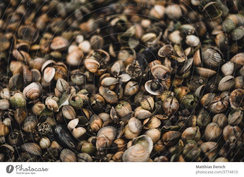 Muscheln am Nordseestrand muscheln Muschelschale muschelstrand Strand Strandgut Wattenmeer Wattwandern Sand Sandstrand Meer Meerestier