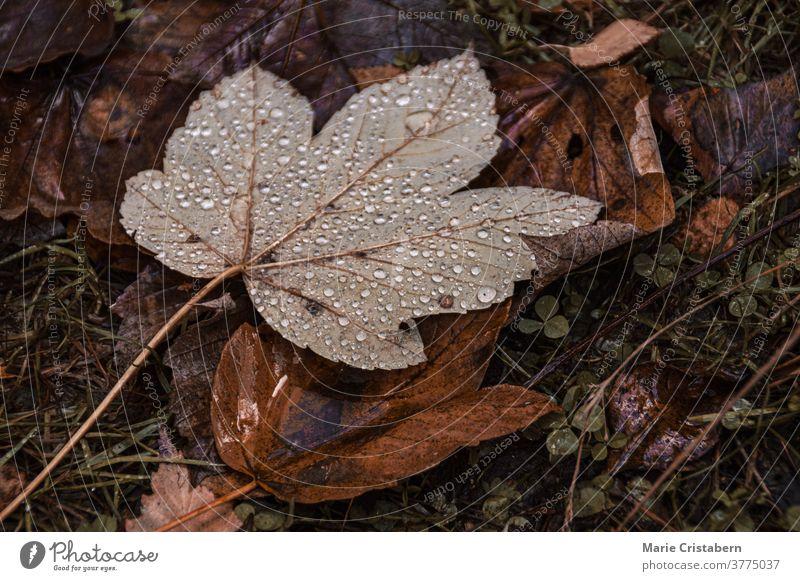 Morgentau auf abgefallenem Herbstlaub dunkel und launisch Herbstsaison keine Menschen Designeigentum umgefallene Blätter texturiert Botanik Makro im Freien
