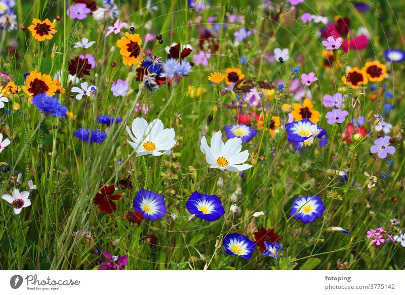 Farbenfrohe Blumenwiese in der Grundfarbe grün mit verschiedenen Wildblumen. Blatt Blumenfeld Wiese Blümchen Blüte Botanik Flora Gras Macro Makro Natur