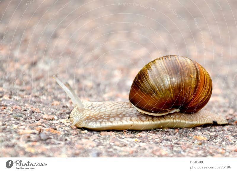 nur die Ruhe - eine Weinbergschnecke quert den Weg Fühler Weinbergschnecken Schnecke Schneckenhaus Schleim Tier schleimig entschleunigung langsam Langsamkeit
