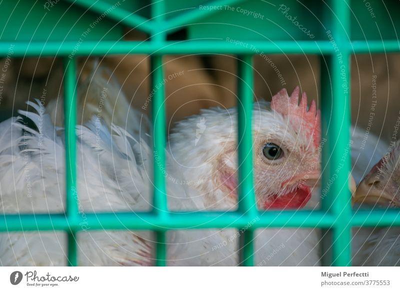 Stallhenne im Käfig für den Transport zum Schlachthof Hähnchen Federvieh Verkehr Tier Viehbestand Pute Bestien Kopf Bauernhof Federn Lastwagen Fleischindustrie