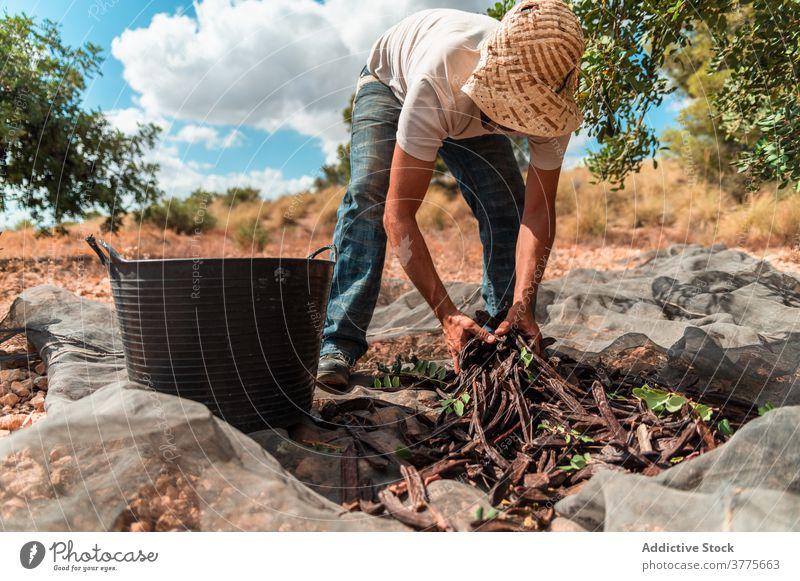 Landwirt sammelt Johannisbrotschoten bei der Ernte Hülse reif pflücken abholen Mann Arbeit Pflanze Arbeiter Baum Saison Ackerbau organisch frisch Bauernhof