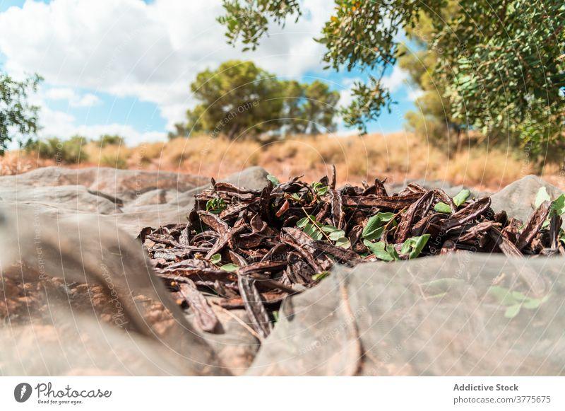 Reife Johannisbrotschoten unter Baum Ernte Hülse reif trocknen abholen Pflanze Haufen Ackerbau Saison organisch frisch Landschaft Bauernhof kultivieren