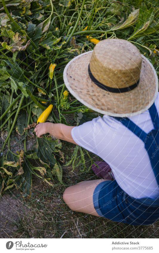 Anonymes Kind sammelt Gemüse im Garten Ernte Saison abholen Dorf Landschaft reif pflücken Sonnenlicht Mädchen Natur organisch Kindheit natürlich kultivieren