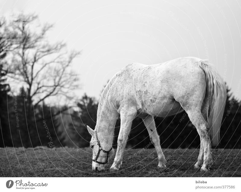 Hüa ho, alter Schimmel Natur Einsamkeit Landschaft Tier Wald Umwelt Wiese Zufriedenheit Pferd Fressen Nutztier anmutend