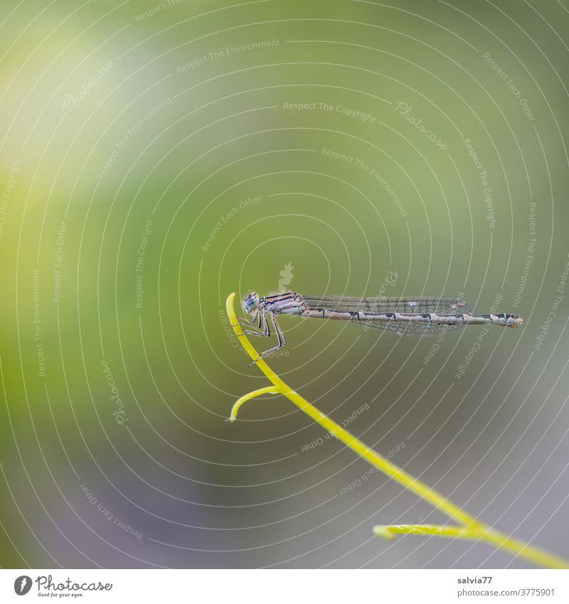 Spitzenposition Natur Libelle Insekt Pflanze Ranke zart filigran oben Haltung Makro Textfreiraum oben Hintergrund neutral Menschenleer Tier Flügel Makroaufnahme