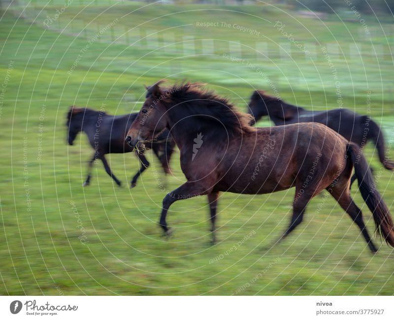 Islandpferde auf der Weide Island Ponys Tag Außenaufnahme Farbfoto Tier Pferd Tierporträt Wildtier Nutztier Menschenleer Bewegungsunschärfe rennen Tiergesicht