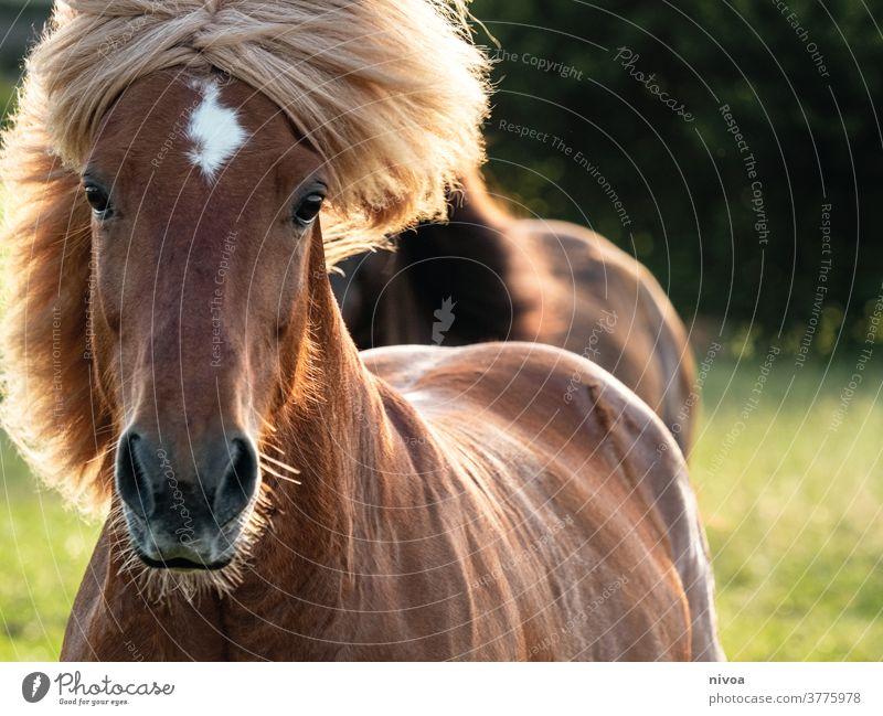 Inselpferd in Bewegung Island Ponys Bewegungsunschärfe Außenaufnahme Farbfoto Tier Tag Pferd Tierporträt Tiergesicht Nutztier Wildtier 1 wild Mähne Natur