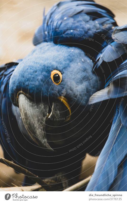 Hyanzithara Papagei Papageienvogel Vogel blau Schnabel Hyazinthara Tier Farbfoto Feder Tierporträt grün Wildtier Tiergesicht Blick Flügel Nahaufnahme Auge schön