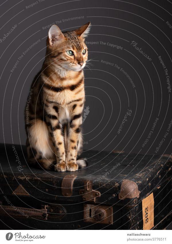 Bengal Katze friedlich Farbfoto Beobachter Tier verspielt frech entspannung beobachten natürlich Idylle Fröhlichkeit Zufriedenheit Innenaufnahme elegant Blick