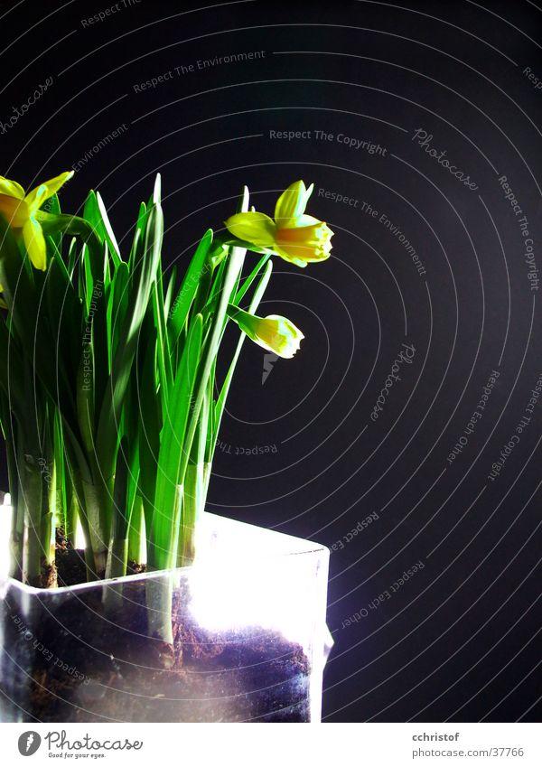 Narzissen grün Blume schwarz gelb Frühling Gelbe Narzisse