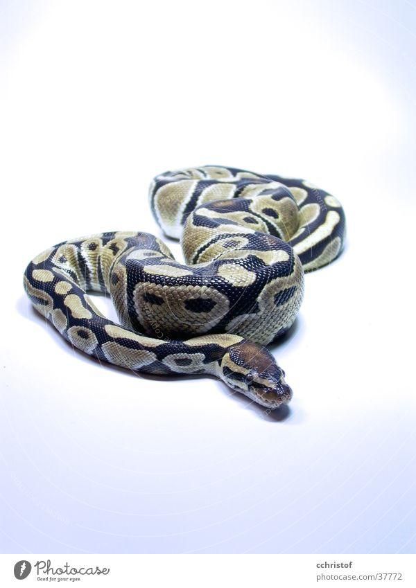 Der Pypi kalt gefährlich Schlange
