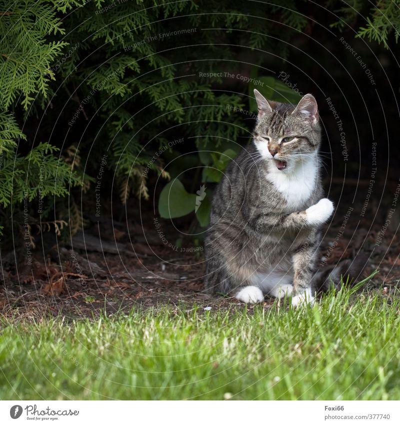 Katzenwäsche Sonne Sommer Baum Gras Garten Haustier 1 Tier frech klein natürlich niedlich klug braun grau grün weiß Tierliebe Gelassenheit ruhig Erholung