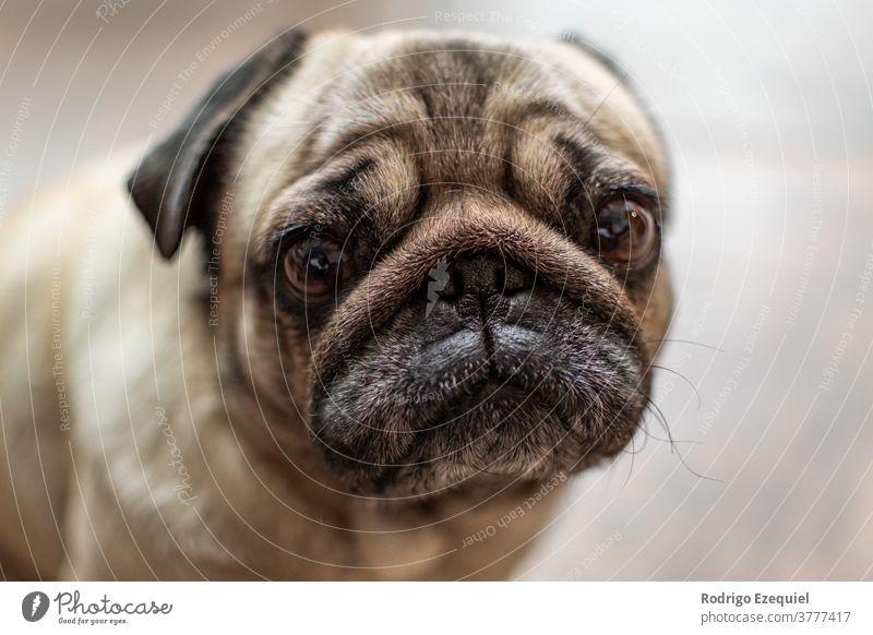 Porträt eines süßen Mopshundes bezaubernd Tier Hintergrund schön züchten braun Eckzahn carlino niedlich Hund Hündchen heimisch Auge Gesicht Freund lustig Kopf