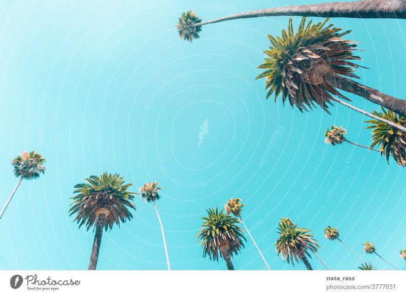 Beverly-Hills-Palmen in kalifornischen Tönen in einer Reihe angeordnet Hintergrund Landschaft Textfreiraum Sonnenlicht hoch los Bäume Rodeo Himmel im Freien