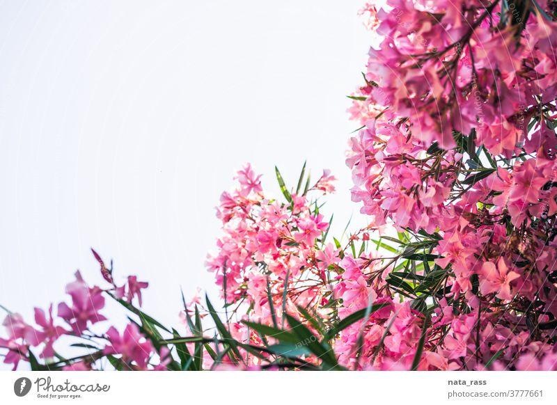 Rosa Oleander vor hellem Himmel mit Kopierraum dekorativ im Freien mediterran Park Nerium-Oleander Sommerzeit Oleanderbaum pulsierend giftig Sommerblume