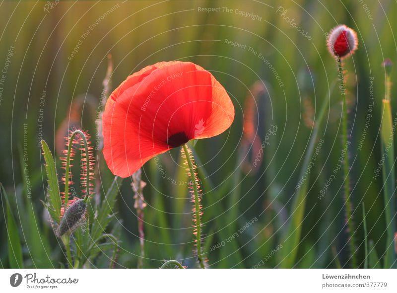 Mohn am Abend Natur Landschaft Pflanze Sommer Schönes Wetter Gras Wildpflanze Mohnblüte Blütenknospen Feld leuchten Wachstum Fröhlichkeit natürlich grün rot