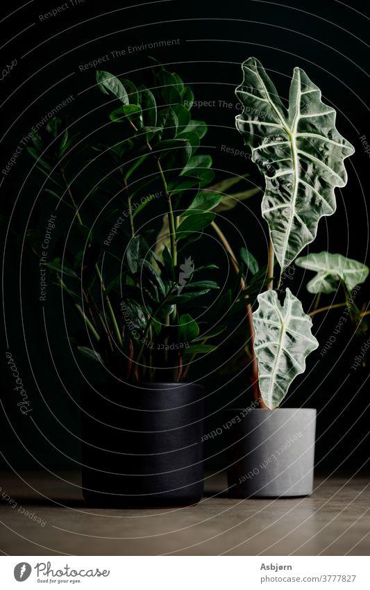 Zimmerpflanzen in der Studiobeleuchtung Pflanzenfotografie grüne Blätter Pflanzen-Heimdekoration Gartenzimmer Grün Innengarten Hausgartenarbeit groß botanisch
