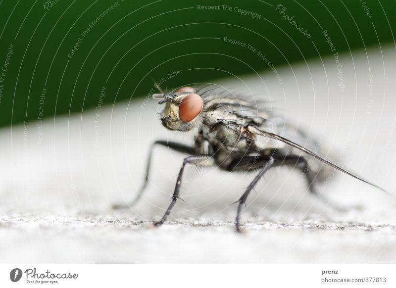 Nahaufnahme Umwelt Natur Tier Wildtier Fliege 1 grau grün sitzen Makroaufnahme Farbfoto Außenaufnahme Menschenleer Textfreiraum oben Tag Schwache Tiefenschärfe