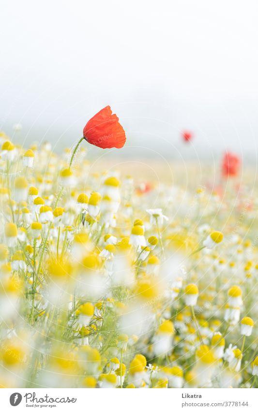 Mohn & Kamille Felder Blumenwiese Natur Sommer Mohnblüte Ackerland draußen Außenaufnahme Blühend sommerlich leicht Juni