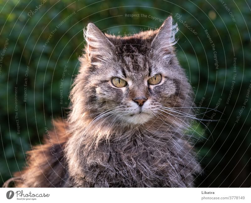Katzenportrait Haustier Kater Tier Tigerkatze Langhaarige Katze Mäusejäger Natur Tierporträt Heimtier Fell Blickkontakt