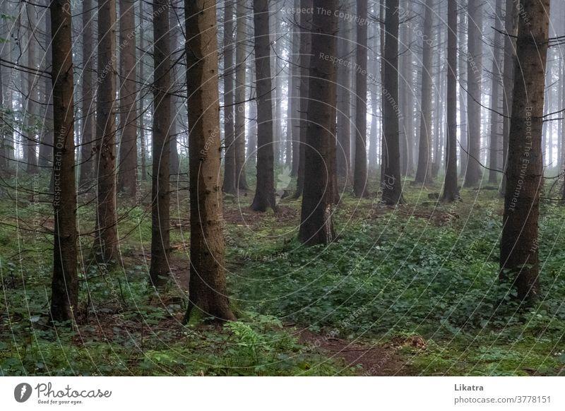 Wald im Nebel Baum Spaziergang Waldweg draußen Nadelwald Wanderung wandern draußensein Natur Sommer schattig Klima Sauerstoff